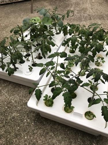 水耕栽培から、土栽培へ苗を移植する時の瞬間画像